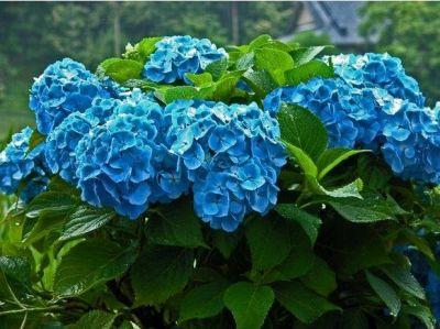 Гортензия Nikko Blue