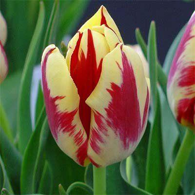 Тюльпан Grand Perfection