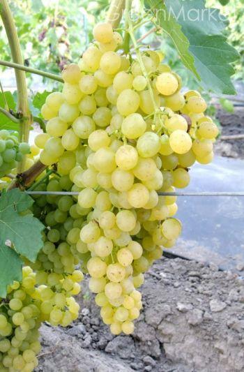 Виноград Біле полум'я