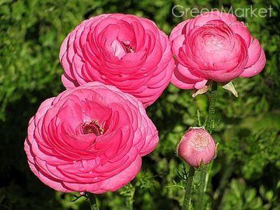 Ранункулюс Пинк (Pink)