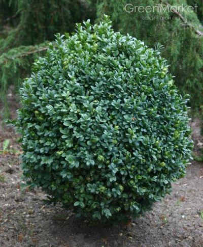 Самшит (Buxus sempervirens)