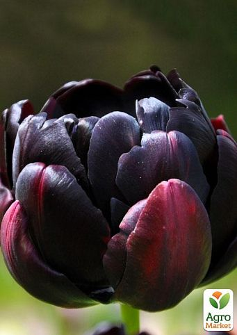 Тюльпан Black Hero