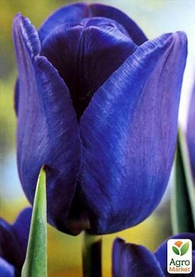 Тюльпан Blue Aimable