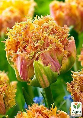Тюльпан Esprit