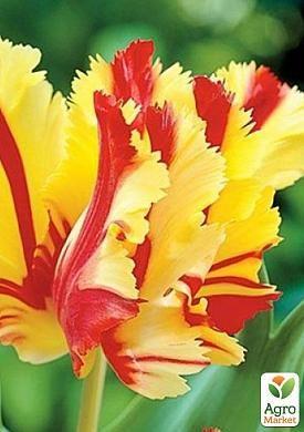 Тюльпан Flaming Parrot Gold