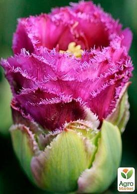 Тюльпан Purple Tower
