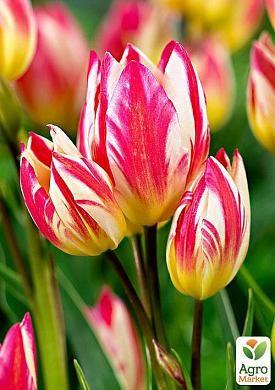 Тюльпан Tricolette