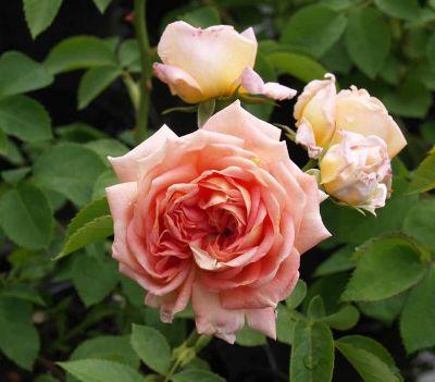 Троянда Алхіміст (Alchymist)  Плетисті, Kordes Німеччина, 1956