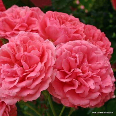 Троянда Розаріум Ютерзен (Rosarium Uetersen) Плетисті, Kordes Німеччина, 1977