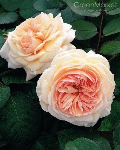 Троянда Е Шропшіе ЛЕД (A Shropshire Lad) Англійські, Austin Великобританія, 1997