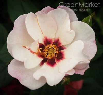 Троянда Аліссар (Alissar) Шраби, Harkness Великобританія 2009