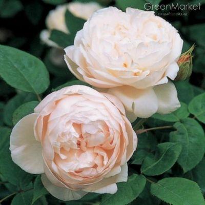 Троянда Св. Сесілія (St. Cecilia) Англійські, Austin Великобританія, 1987