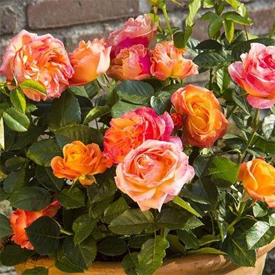Троянда Антигуа (Antigua) Чайно-гібридні, Interplant Нідерланди, 2014