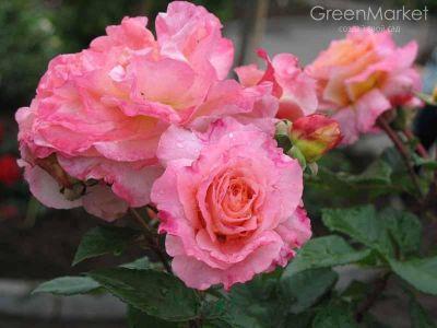 Троянда Августа Луїза (Augusta Luise) Чайно-гібридні, Tantau Німеччина, 1999