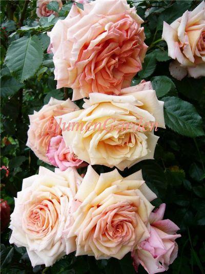 Троянда Barock (Борокко) Плетисті, Tantau Німеччина, 1999