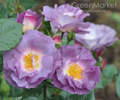 Троянда Блу фо Ю (Blue for You) Флорибунда, Delbard Франція, 2005