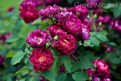Троянда Кардинал Х'юм (Cardinal Hume) Шраби, Harkness Великобританія, 1984