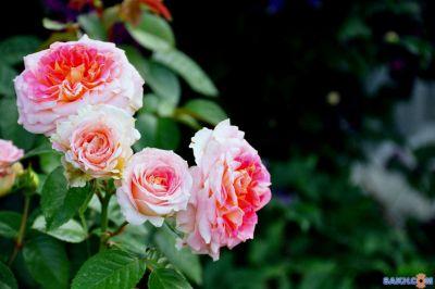 Троянда Цезар (Cesar) Плетисті, Meilland Франція, 1993