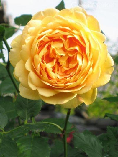 Троянда Голден Селебрейшен (Golden Celebration) Англійські, Austin Великобританія, 1992