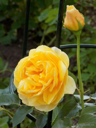 Троянда Голден Фліс (Golden Fleece) Плетисті, JScarman Німеччина, 2007