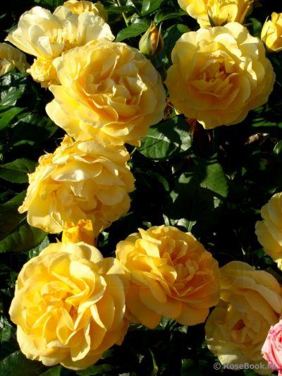 Троянда Джулія Чайлд (Julia Child) Флорибунда, Carruth США, 2004
