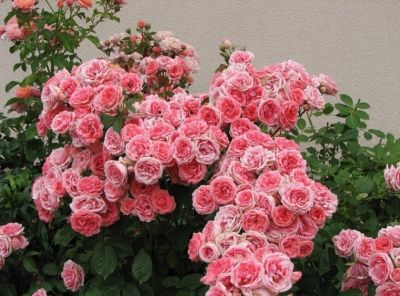 Троянда Кімоно (Kimono) Флорибунда, De Ruiter Нідерланди, 1961