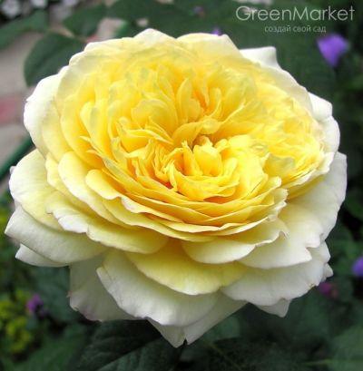 Троянда Нельсон Монтфорд (Nelson Montfort) Гійо, Massad Франція 2009