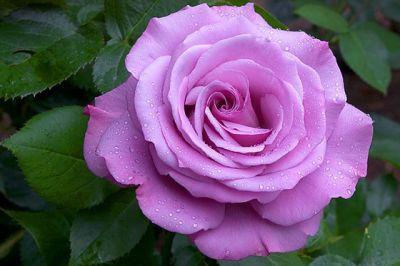 Троянда Блакитний Ніл (Nil Bleu) Чайно-гібридні, Delbard Франція, 1976