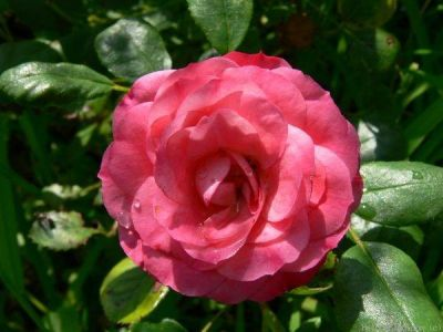 Троянда Пат де Велюр (Patte de Velours) Шраби, Meilland Франція, 1999