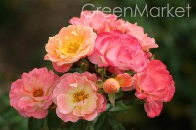 Троянда Піч Дрифт (Peach Drift) Грунтопокривні, Meilland Франція, 2006