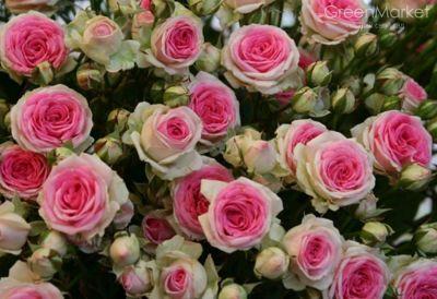 Троянда П'єр де Ронсар (Pierre de Ronsard) Плетисті, Meilland Франція, 1987