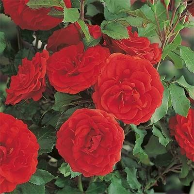 Троянда Ремембранс (Remembrance) Флорибунда, Harkness Великобританія, 1992