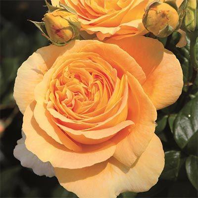 Троянда Канделайт (Candlelight) Чайно-гібридні, Tantau Німеччина, 1994