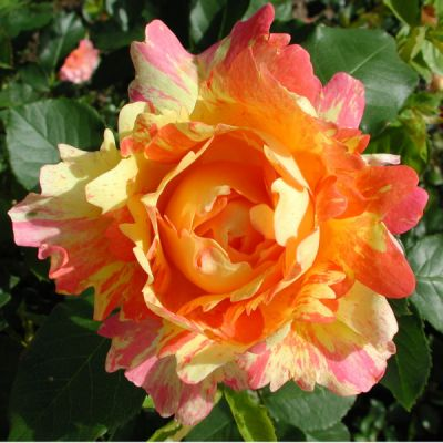 Троянда Роз де Цістерсьен (Rose des Cisterciens) Флорибунда, Delbard Франція, 1998
