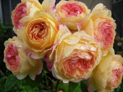 Троянда Розоман Жанон (Rosomane Janon) Шраби, Massad Франція 2001