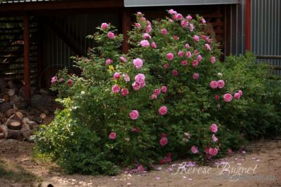 Троянда Терез Бунье (Therese Bugnet) Паркові, Bugnet Канада, 1950