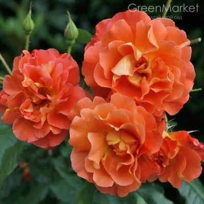 Троянда Вестерленд (Westerland) Плетисті, Kordes Німеччина, 1969